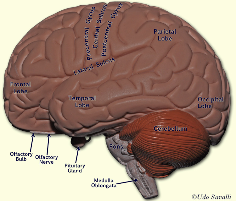 Label Human Brain Images - human body anatomy