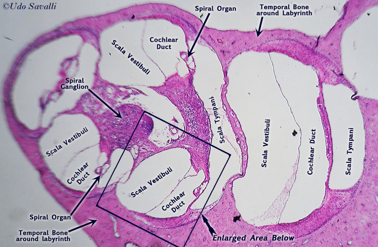 cochlear histology labeled BIO201-Cochlea
