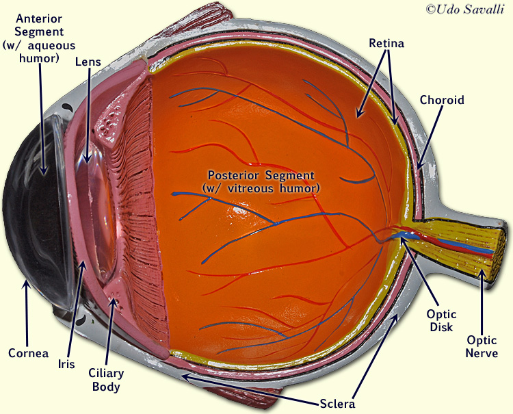 Eye models for anatomy