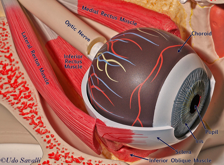 Bio201 Eye Model