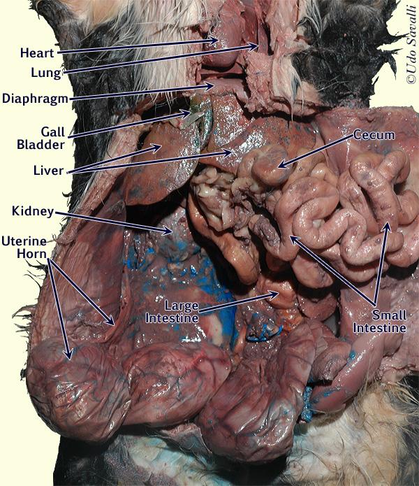Cat anatomy internal organs