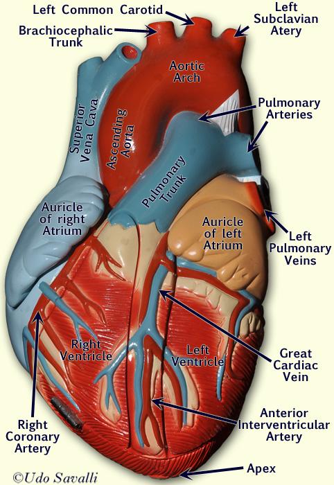 Heart anatomy worksheet pdf