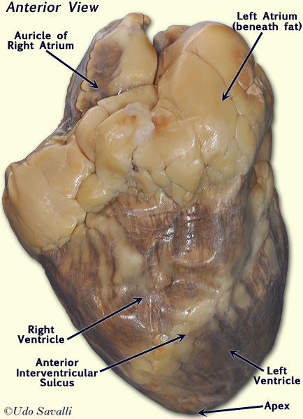 Real Human Heart Labeled