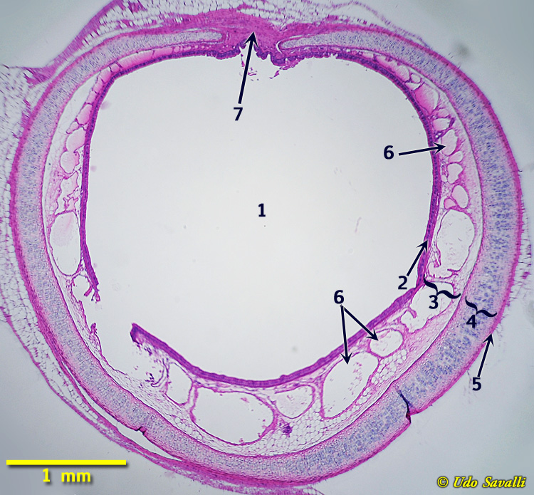 Trachea Histology Pictures images
