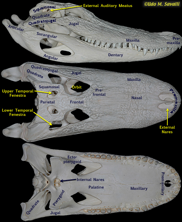 Anatomy of an alligator