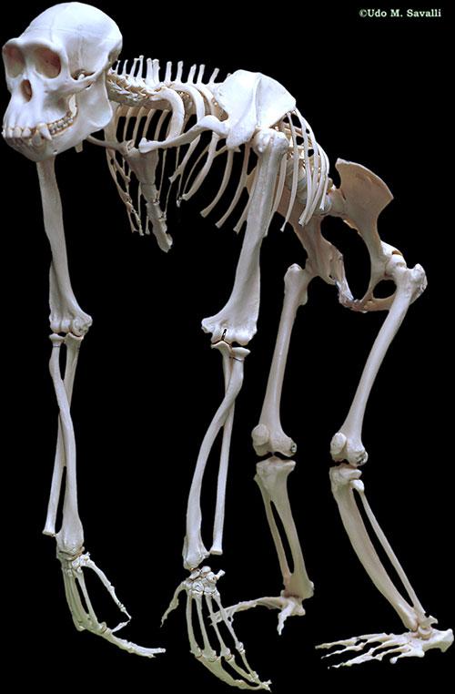 ChimpSkeletonPlain.jpg