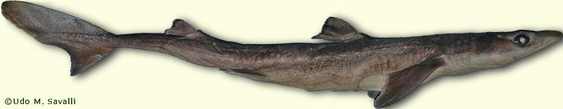BIO370-Shark Dissection