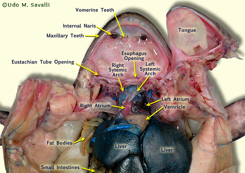 Frog Dissection Labeled