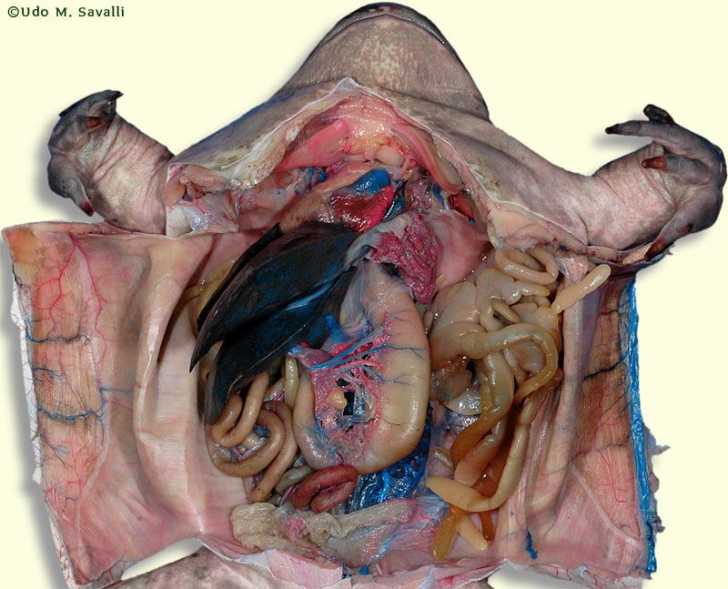 internal structure of a frog