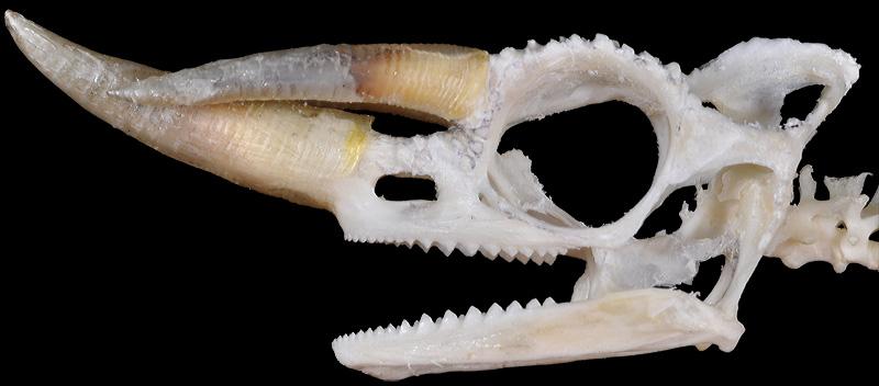 Lizard skull anatomy