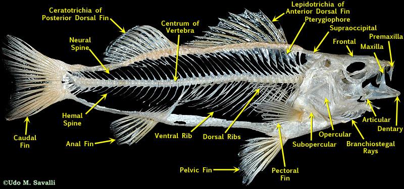 Fish skull anatomy