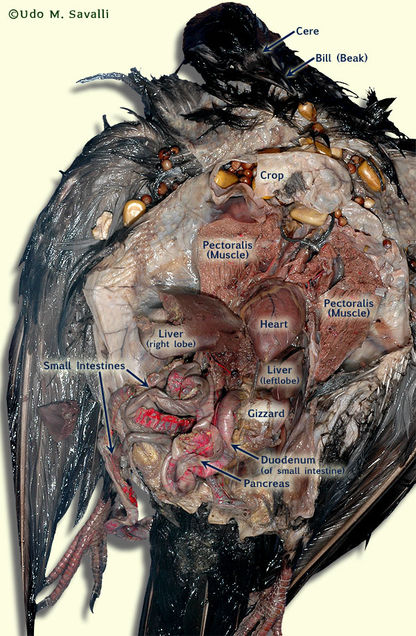 BIO370-Pigeon Dissection