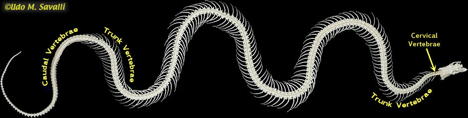 Anaconda skeleton - photo#19