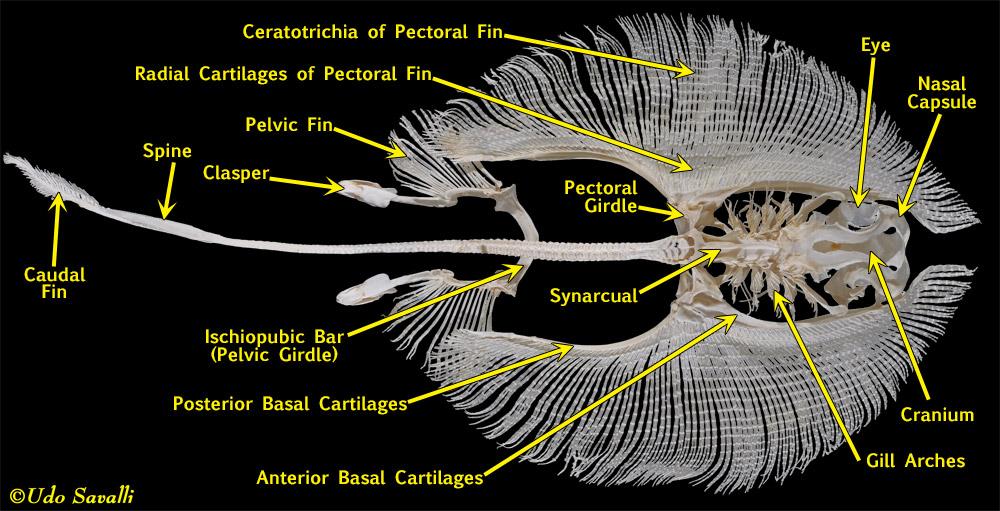 BIO370-Shark Skeleton