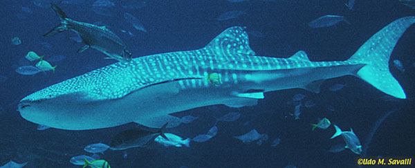 Whale Shark Anatomy Lektonfo