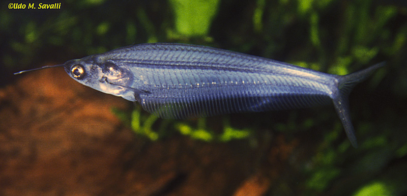 Glass Catfish, Kryptopterus bicirrhis (Family Siluridae)