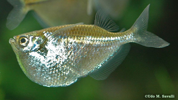 Common Hatchetfish, Gasteropelecus sternicla (Family Gasteropelecidae)