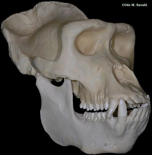 Male Gorilla Anatomy Gorilla Skull Male Gorilla