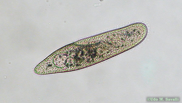 paramecium labeled
