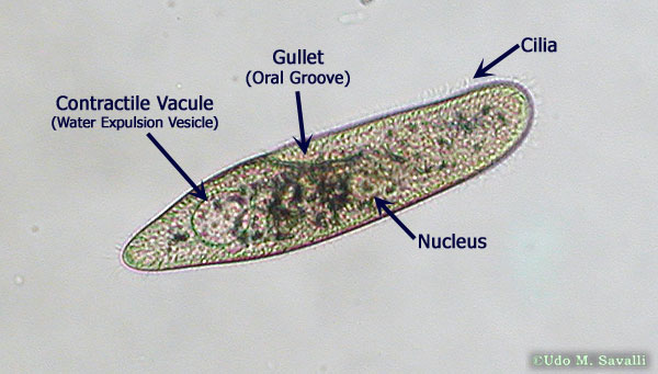 Longicauda2c additionally Andersonnvc blogspot moreover Planaria Under Microscope Labeled in addition Detailedresult also Wd Brilliant Blue 1. on vorticella diagram labeled