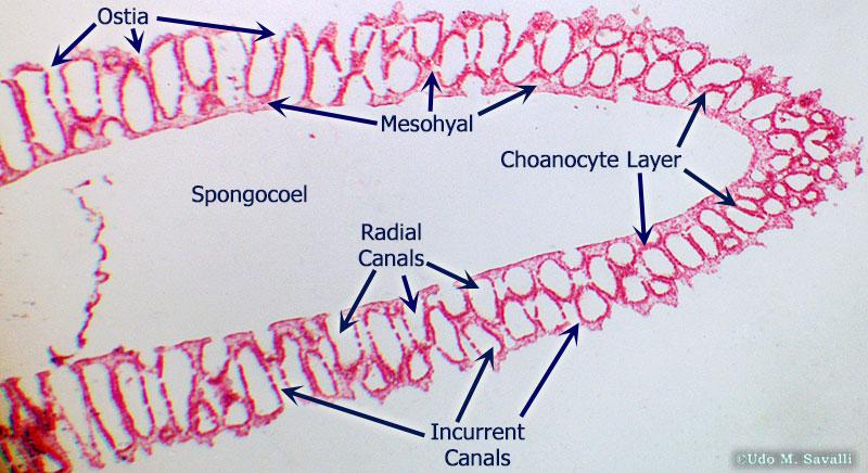 BIO385-Porifera