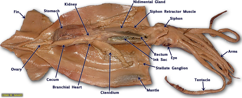 Labeled Squid http://strategy-radar.com/labeled-squid-dissection