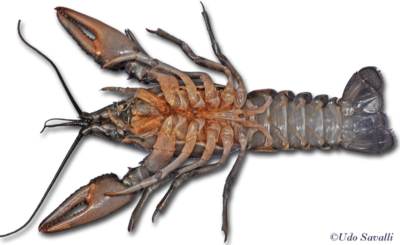 Crayfish Ventral View Diagram Wiring Library