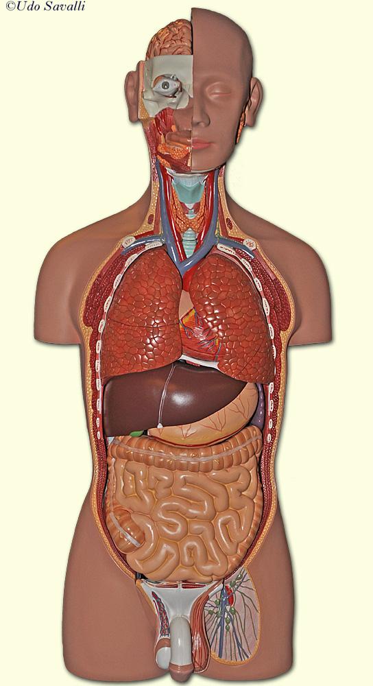 Human Body Organs Unlabeled Diagram