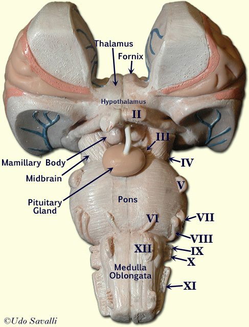 BIO201-Human Brain