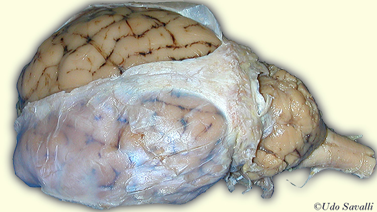 Bio201 Sheep Brain