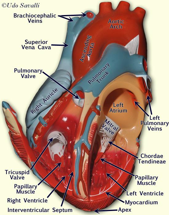 bio202-heart model
