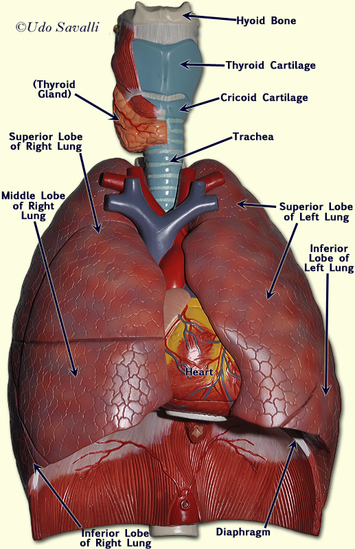 Bio202 Respiratory System