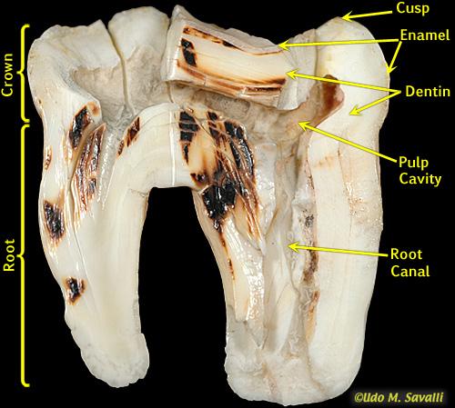 BIO370-Mammal Teeth
