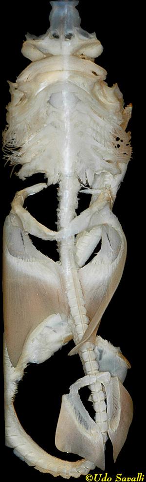 Bio370 Shark Skeleton