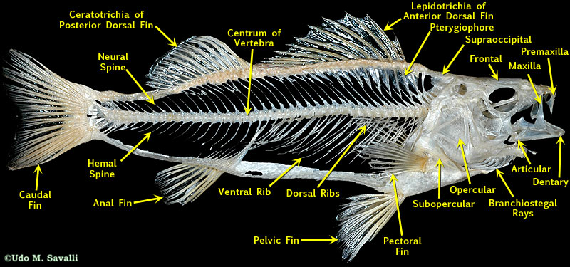 BIO370-Bony Fish Skeleton