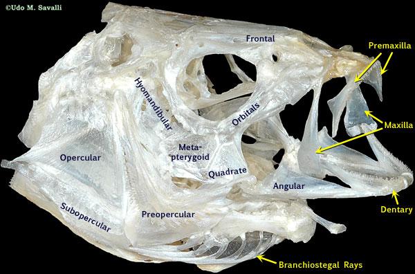 BIO370-Fish Skulls