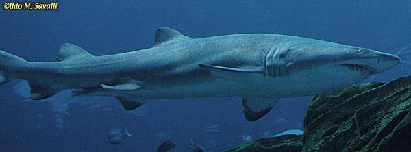 BIO370-Cartilagenous Fishes