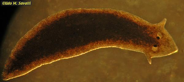 Mușchiul platyhelminthes planaria, Viermele are organe speciale de atașare