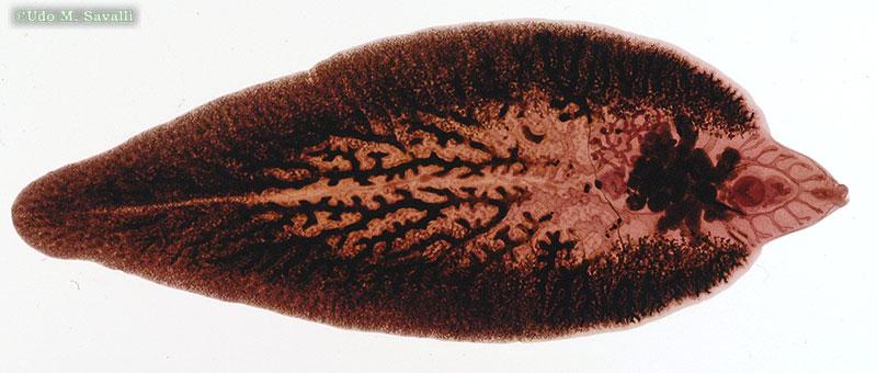 fasciola platyhelminthes)