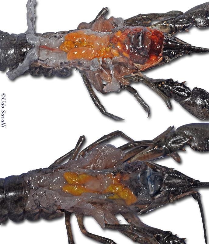 BIO385-Arthropoda-Crustacea